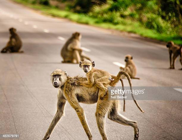 Several miles outside Mikumi National Park, a troop of baboons frolic and play in the road. Here a baby baboon holds on tight to it's mother's back...