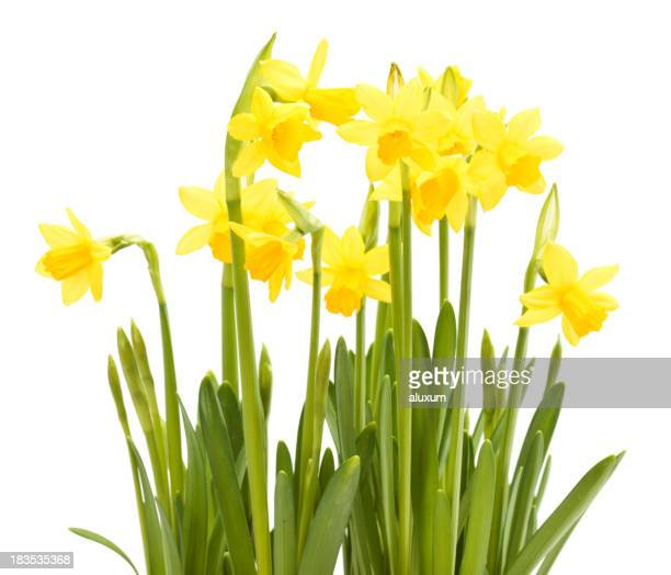 Several narcissus flowers in a white background