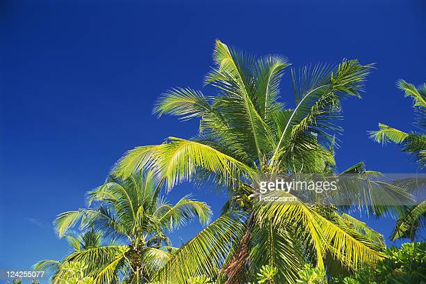 Several Palm Tree Leaves Under a Blue Sky, Low Angle View, Maldives, Micronesia