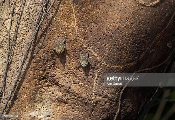 several proboscis bats, rhynchonycteris naso, on a tree trunk in the amazon jungle. - alex saberi 個照片及圖片檔