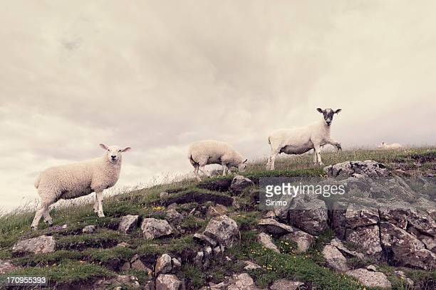 several sheep on rocky outcrop - desaturated stock pictures, royalty-free photos & images