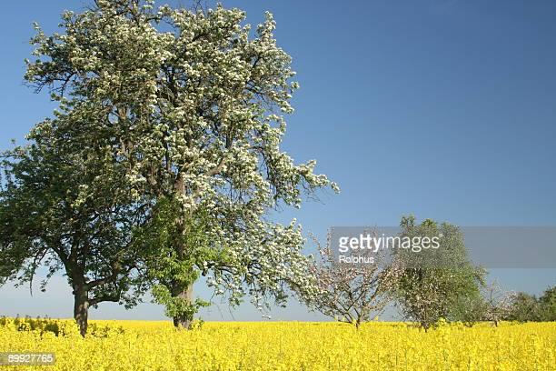 Mehrere Frühjahr Bäume im gelben Feld