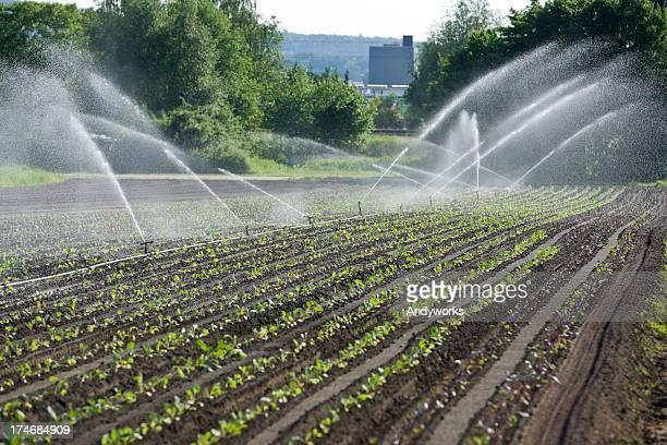 Several water sprinklers flowing into rows of growing plants