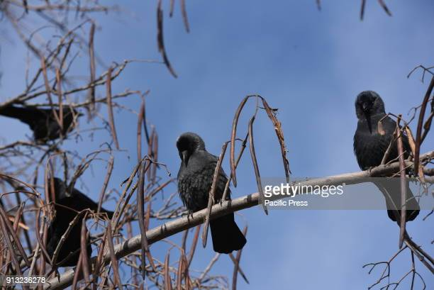 Several Western jackdaws on a tree at Madrid zoo where they find food easily According Seo Birdlife the Spanish Society of Ornithology The population...
