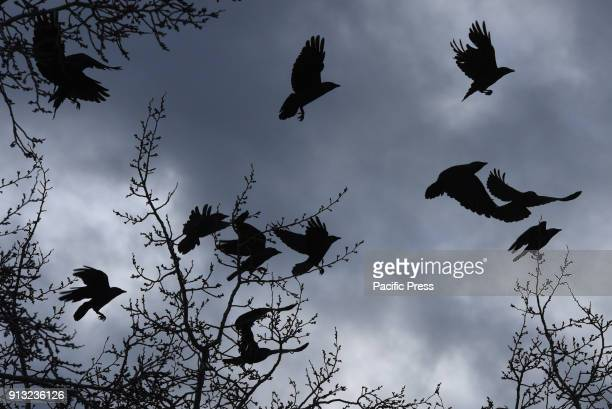 Several Western jackdaws pictured flying at Madrid zoo where they find food easily According Seo Birdlife the Spanish Society of Ornithology The...