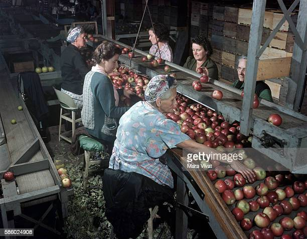 Several women sort out bad apples from a conveyor belt at a processing plant Virginia USA
