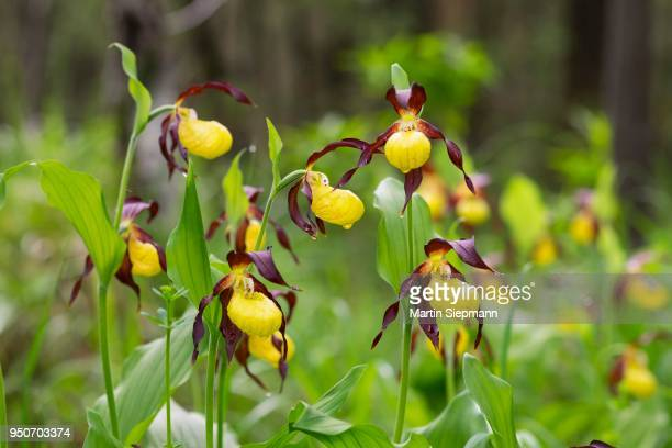 Several yellow Ladys Slipper Orchids (Cypripedium calceolus), with water drops, nature reserve Isarauen, Pupplinger Au, Upper Bavaria, Bavaria, Germany