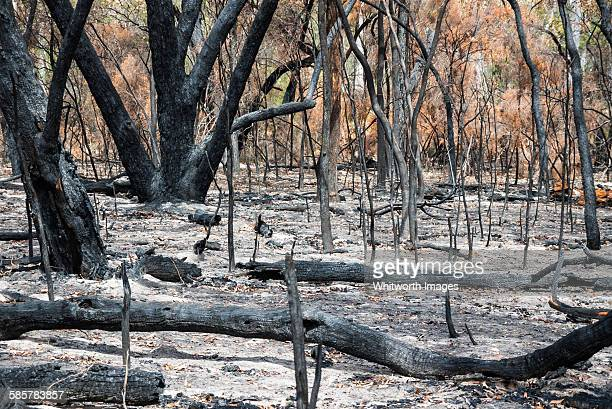 severely burnt forest after grampians wildfire - bushfire australia stock pictures, royalty-free photos & images