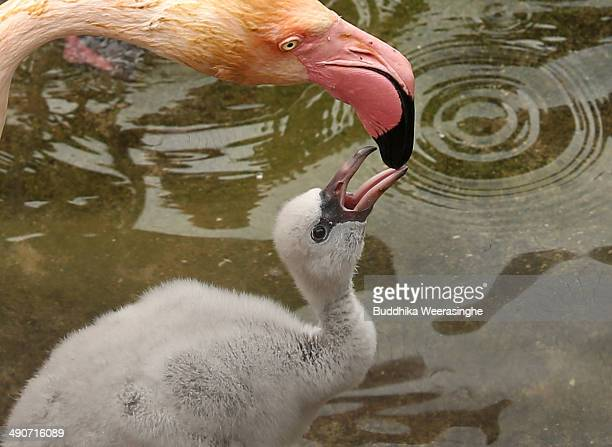 A seveteendayold European flamingo chick is fed by its parent at the Oji Zoo on May 15 2014 in Kobe Japan These chicks of European greater flamingo...