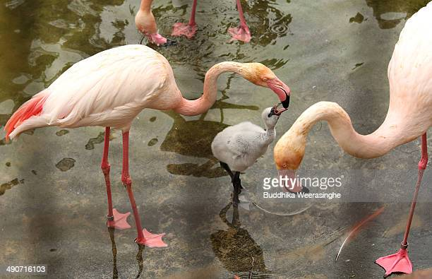 A seveteendayold European flamingo chick is fed by its parents at the Oji Zoo on May 15 2014 in Kobe Japan These chicks of European greater flamingo...