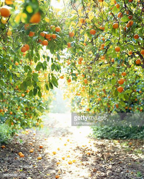 seville orange trees - orange orchard stock photos and pictures