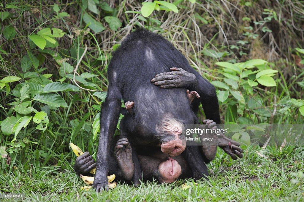 Bonobo sexualverhalten