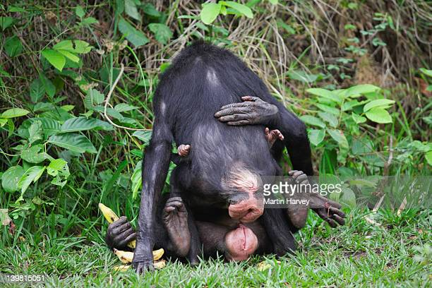sex and simulated sexual activity plays a major role in bonobo (pan paniscus) society. it can be used in greeting or in conflict resolution. sanctuary lola ya bonobo chimpanzee, democratic republic of the congo - monkeys stock photos and pictures