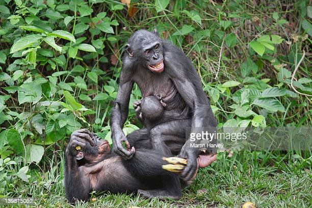 Sex and simulated sexual activity plays a major role in Bonobo (Pan paniscus) society. It can be used in greeting or in conflict resolution. Sanctuary Lola Ya Bonobo Chimpanzee, Democratic Republic of the Congo