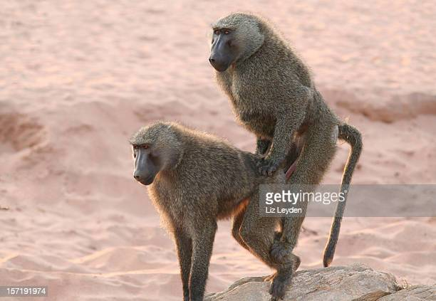 """""""sex on the beach"""" olive baboons - baboon stock photos and pictures"""