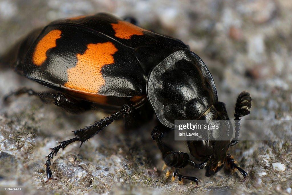 Sexton Beetle : Stock Photo
