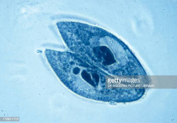 Sexual reproduction of Paramecia Protozoan seen under a microscope