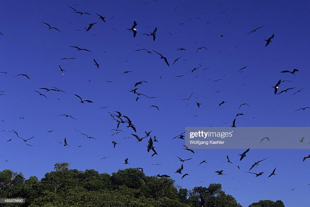 Seychelles, Aldabra Island, Frigate Birds Flying Over Nests... : News Photo