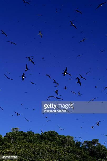 Seychelles, Aldabra Island, Frigate Birds Flying Over Nests In Mangrove Trees.