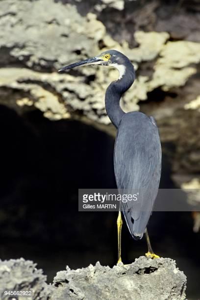Seychelles, Aldabra island, Portrait of a western reef heron with dark feathers on the seaside.
