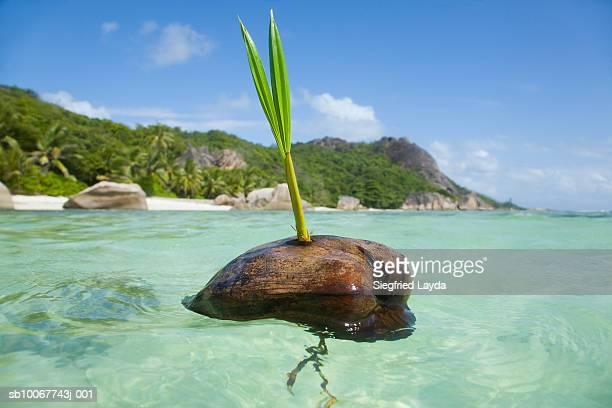 Seychelles, Anse Severe, La Digue Island, Sprouting coconut in ocean