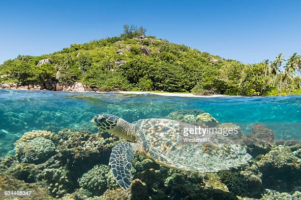 seychelles, big sister island, hawksbill sea turtle, eretmochelys imbricata - hawksbill turtle stock pictures, royalty-free photos & images
