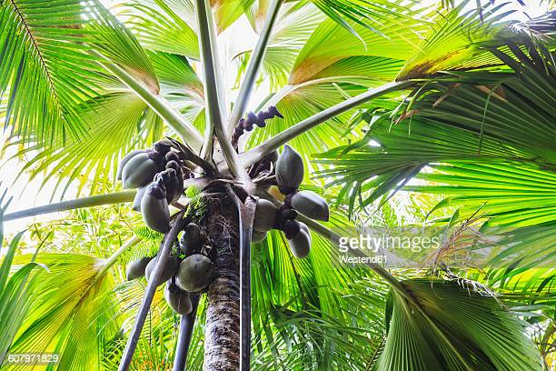 Seychelles, Coco de Mer, fruits on palm tree