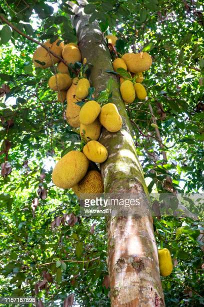 60 Top Durian Tree Pictures, Photos, & Images - Getty Images