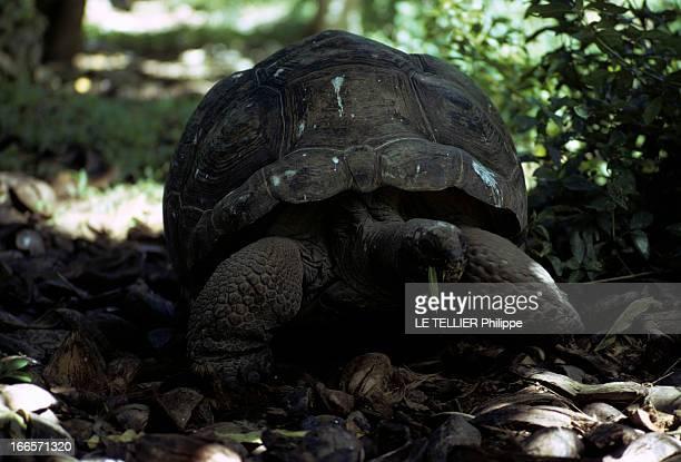 Seychelles Islands En 1972 aux îles Seychelles une tortue terrestre géante dans la végétation mangeant une feuille