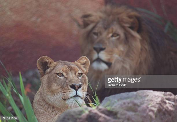 Lion.1.Rd.3–12–97 Los Angeles Zoo: Ten year old Lionel and nine year old Cookie made their debut in the renovated exhibit Lion exhibit. The lions...