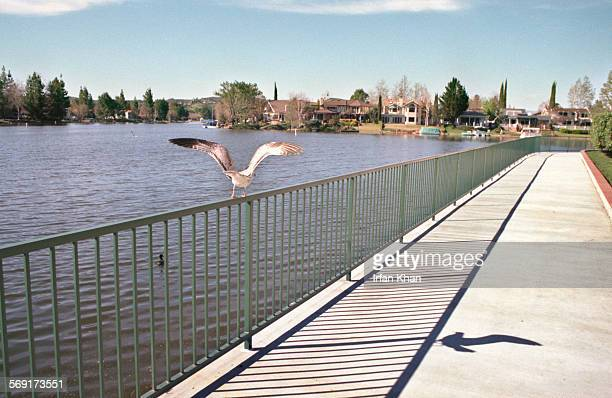 SFSun70219IK WEST LAKE VILLAGE FEB 19Under clear sky a gull takes flight from its perch atop the fence surounds the lake at West Lake VillagePhoto...