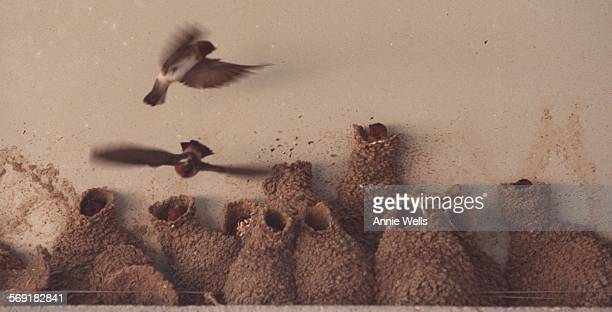 SFswallo50517AW Van Nuys A Cliff Swallows fly to their mud nests in the eves of the Administration Building at the Japanese Garden in the Sepulveda...