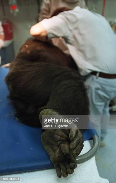 Vet.22.0214.JPLDr Ramiro Isaza cleans the teeth of a 20 year old chimp. Joel P Lugavere
