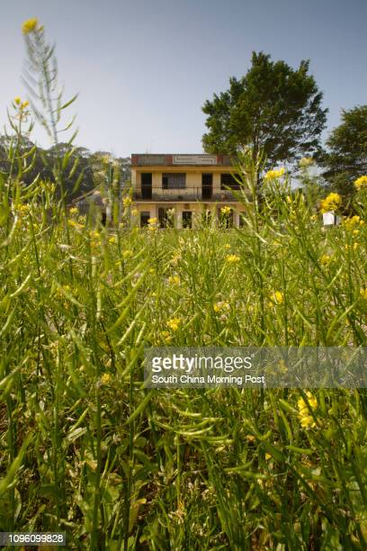 Sha Lo Tung Cheung Uk village Rapeseed flowers grow in front of a two story house at Sha Lo Tung Cheung Uk village Tai Po 01MAR16 [13MARCH2016...