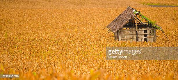 shack in a corn field; mae sot thailand - mae sot stock photos and pictures