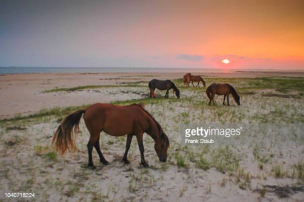 shackleford banks wild horses - outer banks stock pictures, royalty-free photos & images