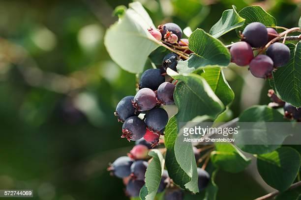 Shadberry branch