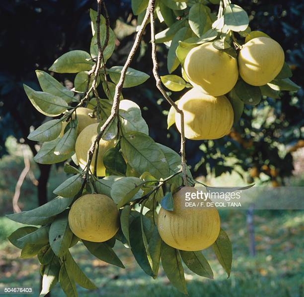 Shaddock or Pomelo Rutaceae Hanbury Botanical Gardens Ventimiglia Liguria Italy