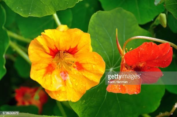 shades of orange - nasturtium stock pictures, royalty-free photos & images