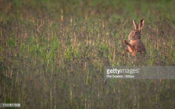 Shadow Boxing Hare
