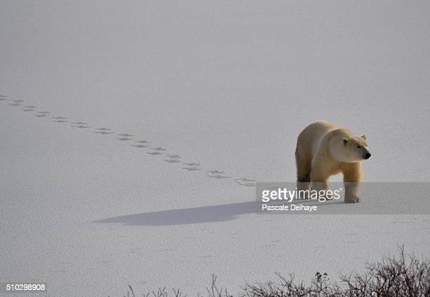 shadow ii - bear tracks stock pictures, royalty-free photos & images