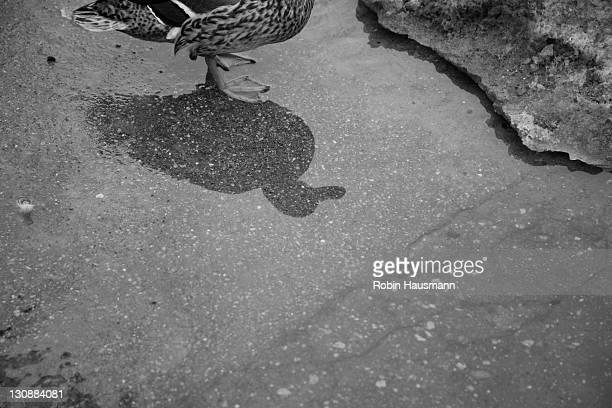 Shadow of a duck in Bastejkalns Park, Riga, Latvia, Baltic region, Northern Europe