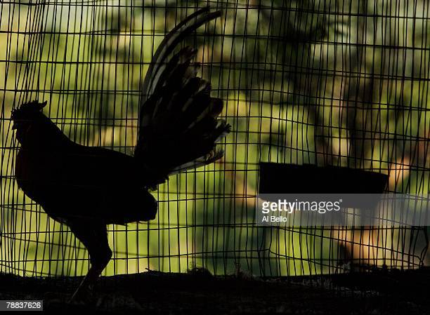 Shadows of a fighting rooster in it's cage at the Dora Alta Farm on November 9 2006 in Toa Alta Puerto Rico Cockfighting or 'peleas de gallos' is a...