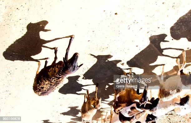 shadows of sheep - howard,_wisconsin stock pictures, royalty-free photos & images