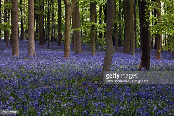 shaft of sunlight in the bluebell woods - bluebell wood stock pictures, royalty-free photos & images