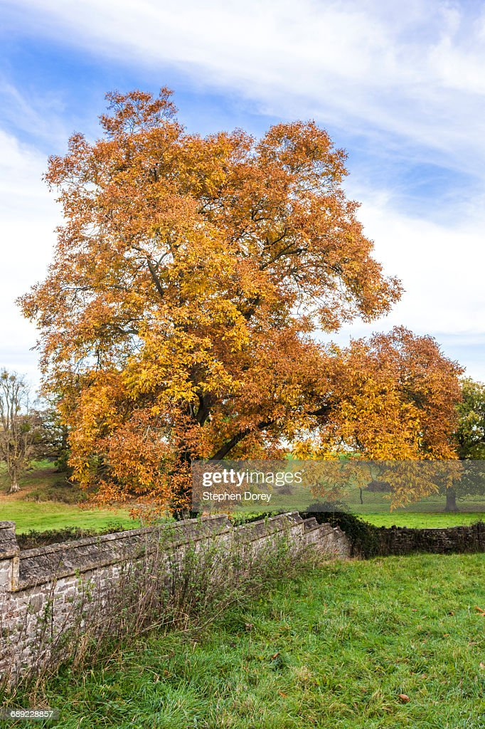 A shagbark hickory tree in autumn, Tortworth UK : Stock Photo