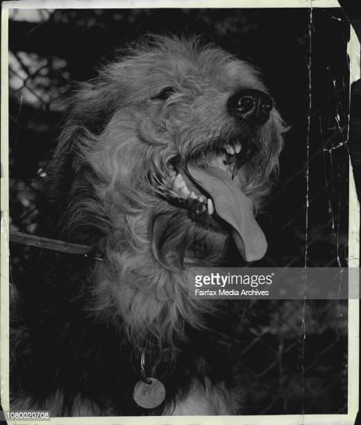 Shaggy' an Airedale Terrier December 5 1958