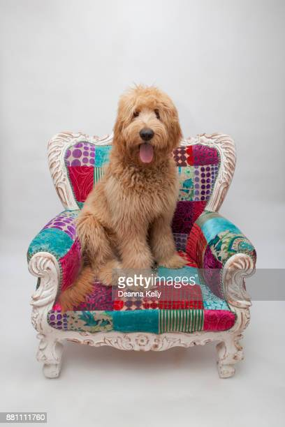 shaggy goldendoodle puppy sitting on a colorful wing chair - goldendoodle stock-fotos und bilder