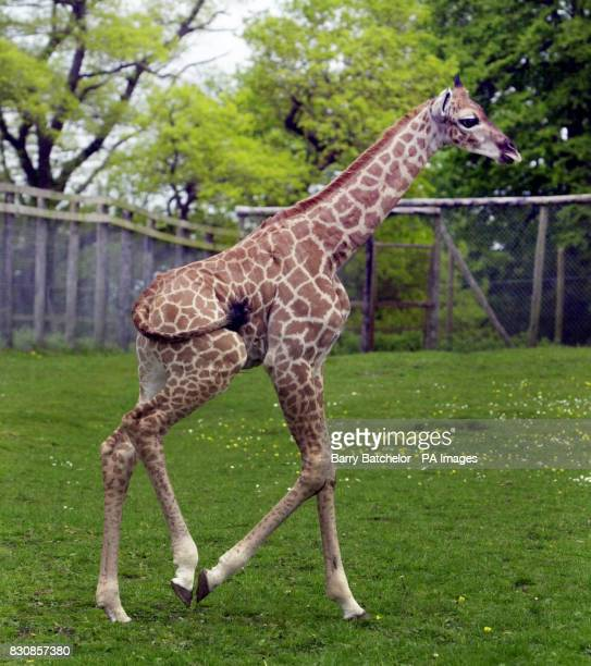 Shakula a Rothschild giraffe gets to grips with her long legs at Longleat Safari Park The six foot two inches baby born April 26 is the eighth calf...