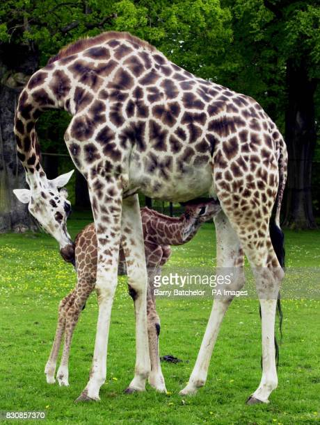 Shakula a Rothschild giraffe receives some loving attention at Longleat Safari Park from her mother Jolly The six foot two inches baby born April 26...